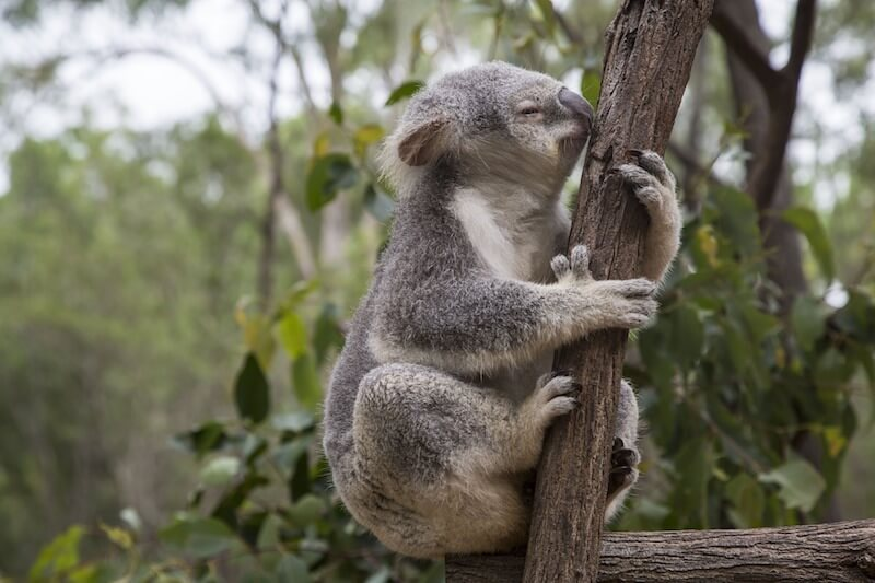 At Lone Pine Koala Sanctuary you can explore and observe the wildlife.